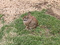 Wild rabbit us large.jpg