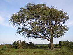 Windswept New Forest tree.jpg