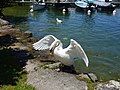 Wings @ Swan @ Lake Annecy @ Port de Saint-Jorioz (50487105003).jpg