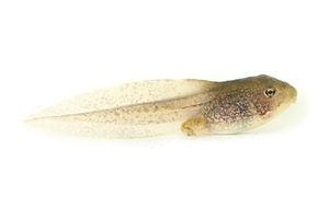 Woodfrog tadpole