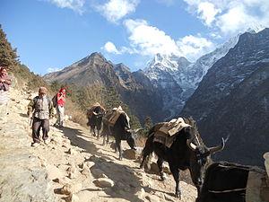 Yak Nepal