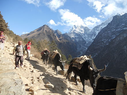 Nepali domestic yaks transport goods on a trek to Mount Everest. - Yak