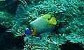 Yellow-face Angelfish (Pomacanthus xanthometopon) (6093896634).jpg