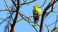 Yellow footed green pigeon at IIT Delhi.jpg