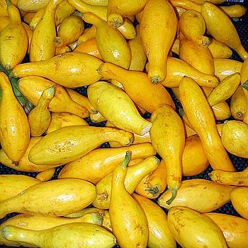 Yellow crookneck squash, a variety of summer s...