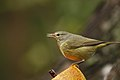 Yellowthroat (4340060056).jpg