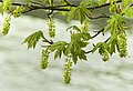 Young maple leaves over water (8637427650).jpg