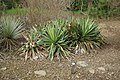 Yucca gloriosa by Nick.JPG