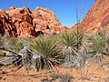 Yucca utahensis 1.jpg