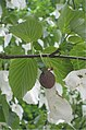 Zakdoekjesboom vrucht (Davidia involucrata).jpg
