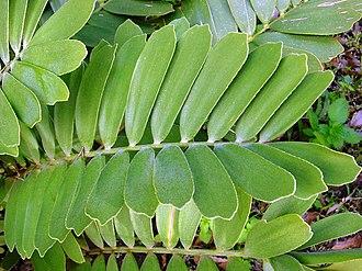 Zamia - Zamia furfuracea leaves