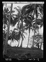 Zanzibar. Sunset through grove of royal palms LOC matpc.17682.jpg