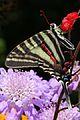 Zebra Swallowtail - Eurytides marcellus, Mona's house, Herndon, Virginia.jpg