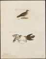 Zenaida spec. - 1700-1880 - Print - Iconographia Zoologica - Special Collections University of Amsterdam - UBA01 IZ15600449.tif