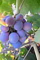 Zinfandel Grapes in mid veraison.jpg