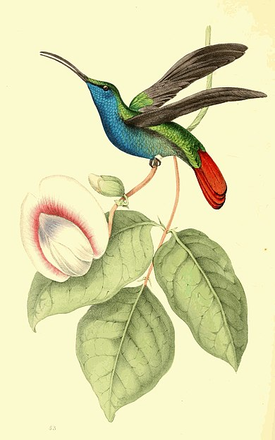 Zoological Illustrations Volume II Plate 83.jpg