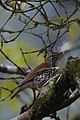 Zorzal Maculado, Wood Thrush, Hylocichla mustelina (11915761385).jpg