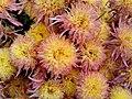 """""""бал хризантем"""" в Нікітському ботанічному саді, 2.jpg"""