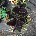'Giant Exhibition Magma' coleus IMG 0886.jpg
