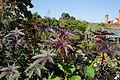 'Ricinus communis' Castor bean plant Capel Manor Gardens Enfield London England 1.jpg