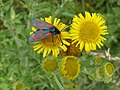 'Six-spot Burnet' day moth, at Haldon Forest Park - geograph.org.uk - 1429604.jpg