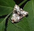 (2164) Broad-barred White (Hecatera bicolorata) (4736303625).jpg