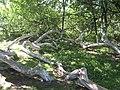 «Яблуня-колонія», ботанічна пам'ятка природи.JPG