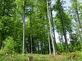 Букові ліси.jpg