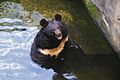 Гималайский медведь.jpg