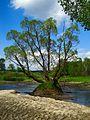 Дерево на островке - panoramio.jpg
