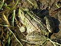 Жаба озерна (Pelophylax ridibundus).JPG