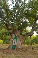 Медвин дуб, Богуславський район.jpg
