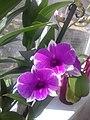 Орхідея дендробіум фаленопсис.jpg