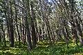 Светлый осиновый лес - panoramio.jpg