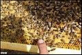 زنبور داری در مراغه - panoramio (1).jpg