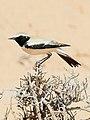 طيور منطقة المغير Traquet du désert ابلق صحراوي.jpg