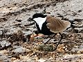 عش الزقزاق (Nest of Spur-winged Plover- Ebn Amer Valley – Jenin).JPG