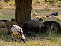 گوسفند Sheep2.jpg