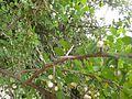 பூலாஞ்சி 4 (Securinega leucopyrus ).jpg