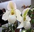 兜蘭屬 Paphiopedilum gaucophyllum x deleratii -香港沙田洋蘭展 Shatin Orchid Show, Hong Kong- (9229788464).jpg
