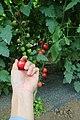 握着圣女果的我的手 (144863821).jpeg