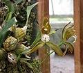 斑舌蘭 Cymbidium tigrinum -比利時國家植物園 Belgium National Botanic Garden- (9255190958).jpg