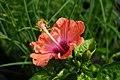 朱槿 Hibiscus - panoramio (3).jpg