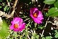 松葉牡丹 Portulata grandiflora - panoramio.jpg