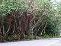 榕巷 Banyan Lane - panoramio.jpg