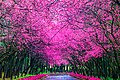 櫻花盛開在臺灣南投九族文化村 Cherry blossom - Sakura in Formosa Aboriginal Culture Village, Nantou, TAIWAN.jpg