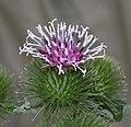毛頭牛蒡 Arctium tomentosum -香港公園 Hong Kong Park- (9200932930).jpg