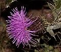 火媒草(Olgaea leucophylla).jpg