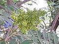 火炬樹 Rhus typhina -北京植物園 Beijing Botanical Garden, China- (9222667570).jpg