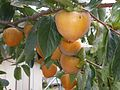 甜柿 Persimmons - panoramio.jpg